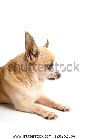 Cute tan chihuahua dog.  Close up isolated on white background.