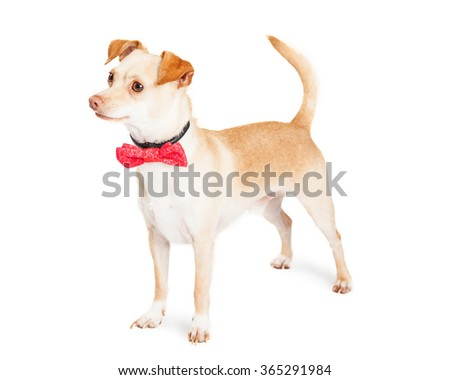 Cute tan color Chihuahua mixed breed dog wearing pink bow tie standing to the side