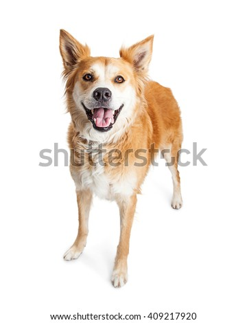 Cute tan color medium size dog with happy and smiling expression standing over white - stock photo