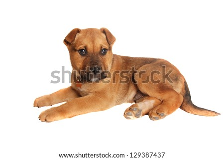 Cute tan colored male puppy laying on white