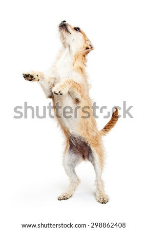 Cute terrier crossbreed dog standing up on hind legs looking up and begging for a treat - stock photo