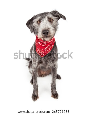 Cute terrier crossbreed dog wearing a red paisley bandana sitting down and looking forward