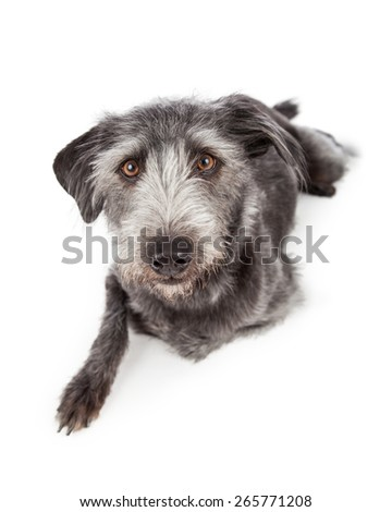 Cute terrier mixed breed dog laying down with one leg tucked under her while she looks at the camera - stock photo