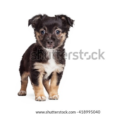 Cute terrier puppy standing looking forward. Isolated on white with copy space