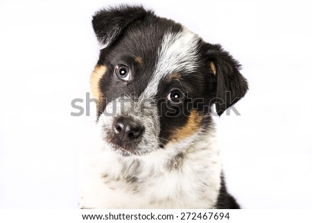 Cute Texas Blue Heeler (a cross breed of Australian Cattle Dog and Australian Shepperd) puppy isolated on white.