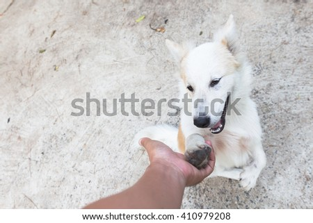cute thai bangkaew dog puppies shake hands on your own - stock photo