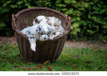 Cute three Australian Shepherd puppies in wicker basket exploring world around