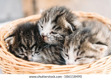 Cute three baby kitten are sitting in a basket - stock photo
