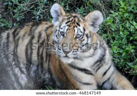 Cute tiger cub stock photo safe to use 468147149 shutterstock cute tiger cub thecheapjerseys Image collections