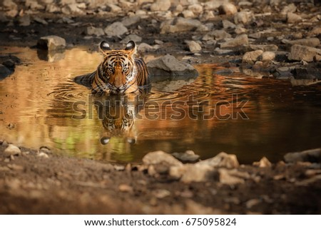 Cute tiger cub in the water. Tiger in the nature habitat. Wildlife scene with danger animal. Hot summer in Rajasthan, India. Dry trees with beautiful indian tiger, Panthera tigris