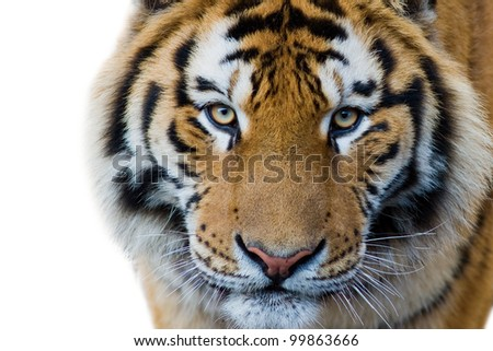 Cute tiger cub isolated on white stock photo 100 legal protection cute tiger cub isolated on white background thecheapjerseys Image collections