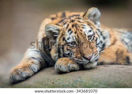 Cute tiger cub resting lazily - stock photo