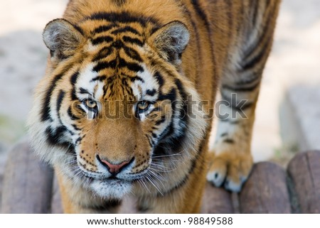 Cute tiger cub - with a strange look in eyes - stock photo