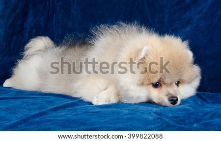 Cute tired Pomeranian puppy lying on a blue sofa - stock photo