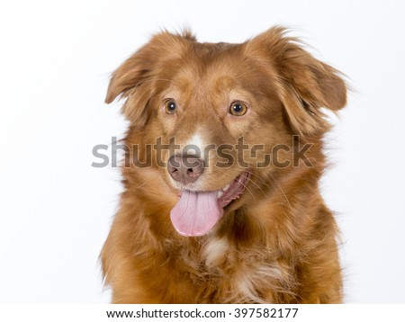 Retriever Isolated Stock Photos, Royalty-Free Images & Vectors