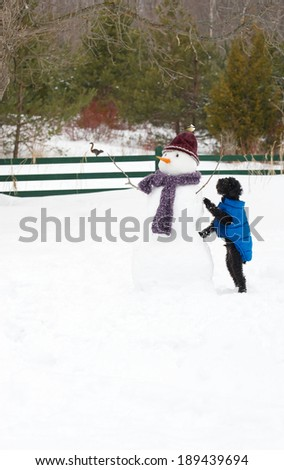 Cute toy poodle curiously examining a chickadee perched on his snowman hat. - stock photo
