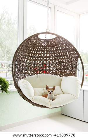 Cute toy-terrier resting in a hanging rattan chair on the balcony of the apartment. Dog sitting in a chair on the terrace - stock photo