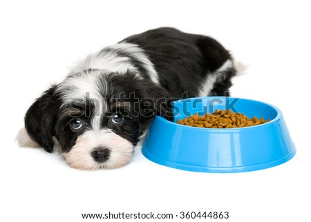 Cute tricolor Bichon Havanese puppy dog is lying next to a blue bowl of dog food and looking at camera - isolated on white background
