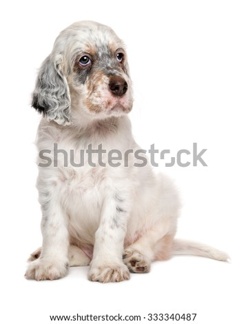 Cute tricolor english setter puppy dog is sitting in front of white background
