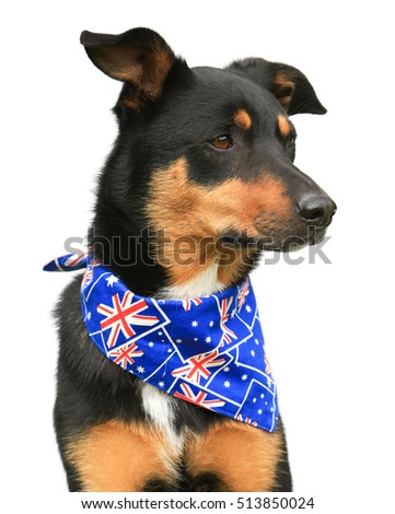 Cute tricolour Kelpie (Australian breed of sheep dog) wearing an Australian flag bandanna looking to the right, on a white background.
