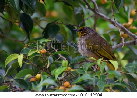 cute tropical bird on fig tree in the jungle  tropical rainforest