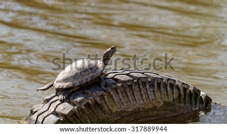 Cute turtle in a pond in a car's tires