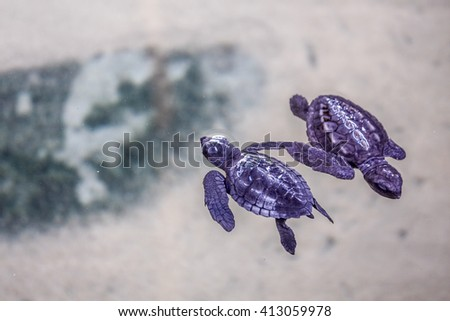 Cute turtles swimming in crystal clear water  - stock photo