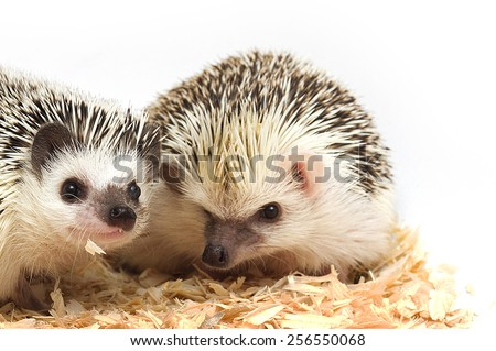 cute two hedgehog love background