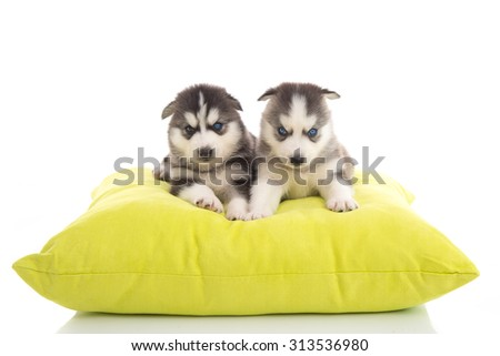 Cute two puppies siberian lying on green pillow,isolated white background - stock photo