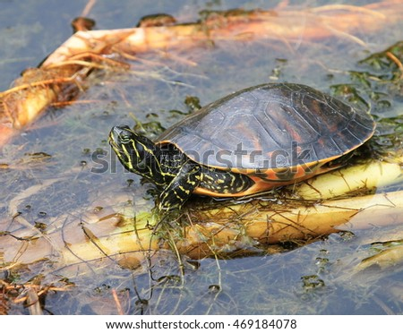 Cute Water Turtle