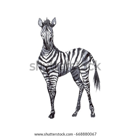 Cute watercolor zebra, hand drawn watercolor illustration