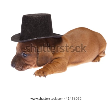 Cute 3 weeks old dachshund puppy with black hat