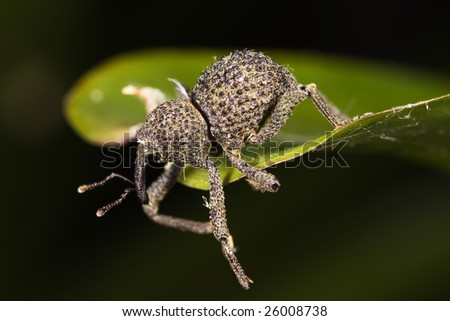 Cute Weevil Almost fall down