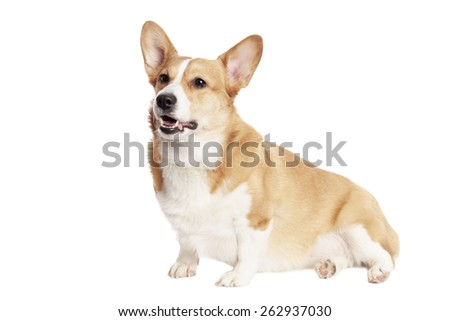 Cute Welsh Corgi and in front of white Background - stock photo