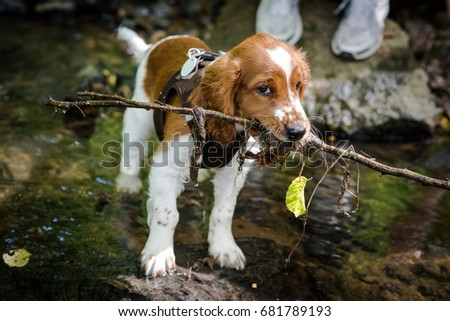 Cute Welsh Springer Spaniel puppy playing in the creek for the first time, toying around his mistress with a stick in bright sunlight