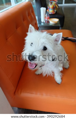 Cute West highland white terrier dog smiling. - stock photo