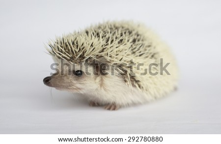Cute white african hedgehog - stock photo