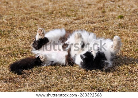 Cute white and black cat with belly up - stock photo