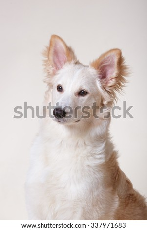 Cute white and blonde red fluffy mutt puppy dog portrait on light cream background