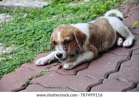 Best Chocolate Lab Chubby Adorable Dog - stock-photo-cute-white-and-brown-puppy-is-laying-on-the-red-block-ground-eating-dog-snack-puppy-is-chubby-and-787499116  Gallery_902624  .jpg