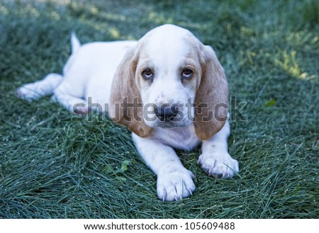 Cute white and tan Basset Hound outdoors in the green grass, - stock photo