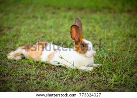 Cute white brown hair bunny laying on green gras.s field.