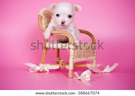 Cute white chihuahua puppy dog on a pink background and a chair - stock photo