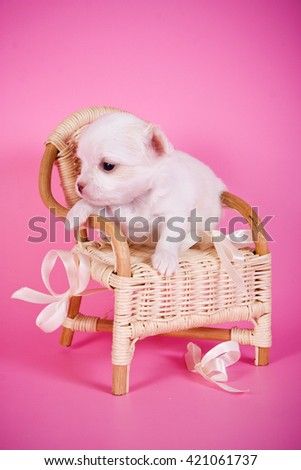 Cute white chihuahua puppy dog on a pink background and a chair