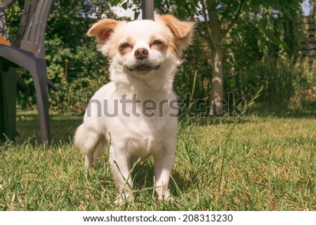 Cute white dog outdoor standing in grass