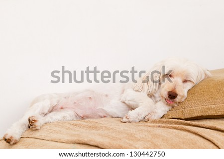 Cute white dog sleeping in the sofa with tongue outside his mouth. - stock photo