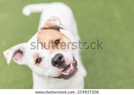 Cute white dog smiles with head tilt - stock photo