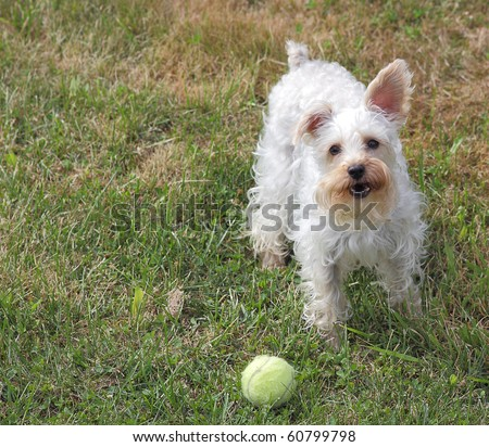 Cute white dog with one ear up and one ear down stands in grass next to tennis ball, wanting to play a game of fetch - stock photo