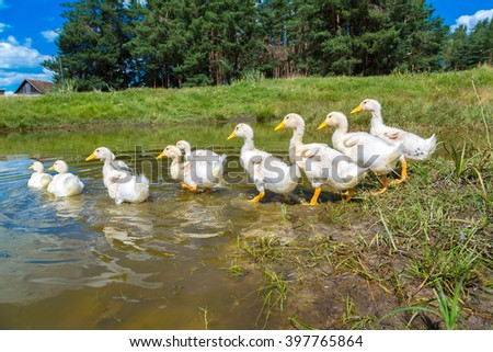 Cute white ducklings swimming on a pond in a summer day - stock photo