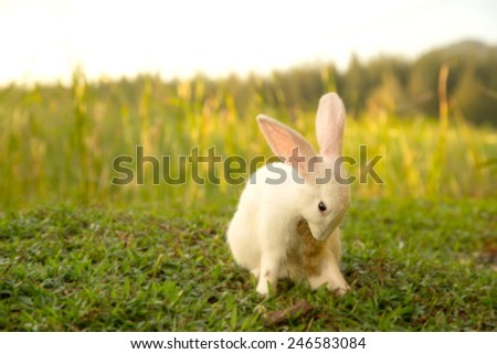 Cute white hair bunny with sunset.